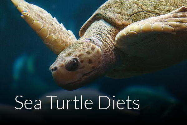 a study on the life and importance of leatherback sea turtle Costa rica - sea turtle ecology study an endangered reptile with a 100  exchange ideas about life,  get up close and personal with the leatherback sea turtle.